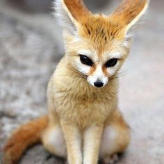 "The Fennec Fox (Vulpes zerda) is a small nocturnal fox found in Sahara Desert of North Africa. Its most distinctive feature is unusually large ears. The name ""Fennec"" comes from the Arabic word for fox (fanak). Nature Animals, Animals And Pets, Wild Animals, Rainforest Animals, Desert Animals, Cute Baby Animals, Funny Animals, Fuchs Baby, Cute Kittens"