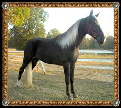 "Apaches Fierce Prince ""Kodiak""  tennessee walker  brokenrstables.com"