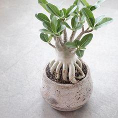 Cacti And Succulents, Planting Succulents, Planting Flowers, Bonsai Plants, Bonsai Garden, Desert Rose Plant, Growing Greens, Plant Species, Plant Needs