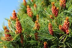 Pinus parviflora 'Bergman'- new growth- via sam-pratt's photobucket