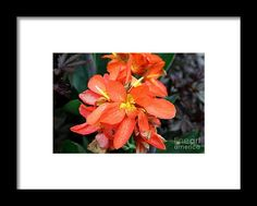 canna, orange, flower, bloom, blossom, nature, garden, michiale, schneider, photography