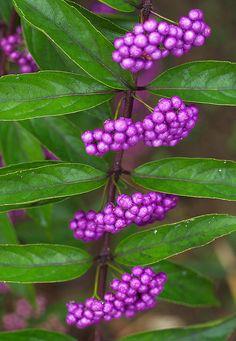 Callicarpa Berries (c) Sky-Genta