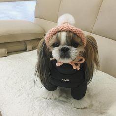 """"""". 오늘은 밖에서 똥때리는 기쁨을 누려보자꾸나~꼬맹아 #이것이#드림스컴트루다 . #shihtzu#puppy#시츄#꼬맹#퍼피엔젤 #iloveshihtzu #ilovemydog #멍스타그램 #petphoto…"""""""