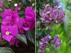 Népszerű, de fagyérzékeny növény. Bougainvillea, Garden, Plants, Garten, Gardens, Planters, Tuin, Plant, Planting