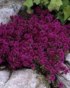 Pergola Over Front Door Code: 3150115002 Pergola Swing, Deck With Pergola, Pergola Patio, Dream Garden, Home And Garden, Purple Perennials, Creeping Thyme, Annual Plants, Flowering Trees