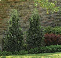 Buxus 'Highlander' | Star® Roses and Plants | #PlantAStar