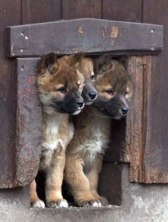 Berlin--Three of four dingo puppies born in January look out from their den at the Tierpark zoo.