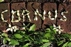 "Cornus omeiense petals spelling out ""Cornus"", Seattle WA"