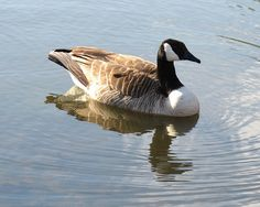 Canada Goose, Kentlands IMG_4806  Photograph by Roy Kelley using a Canon PowerShot G11 camera.  Roy and Dolores Kelley Photographs
