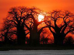 Baines Baobab: under the blue sky of Botswana