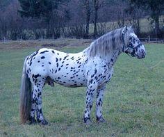 Noriker / Pinzgauer - stallion Julius Elmar XIII