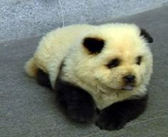 """Panda/Dog.  """"Ever wanted to own a Panda Bear, but was worried about being attacked while you are sleeping? Introducing the Panda Dog, a dog that looks like a Panda Bear."""""""