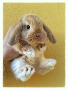 Little baby bunny! Cute Baby Bunnies, Baby Animals Super Cute, Cute Pets, Cutest Bunnies, Mini Lop Bunnies, Super Cute Puppies, Funny Bunnies, Adorable Animals, Funny Pets