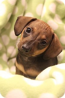 Bedminster Nj Chihuahua Dachshund Mix Meet Choco A Puppy For