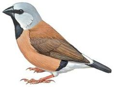 Black-throated Finch (Poephila cincta)