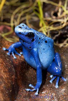Blue Poison Frog (Dendrobates tinctorius azureus)