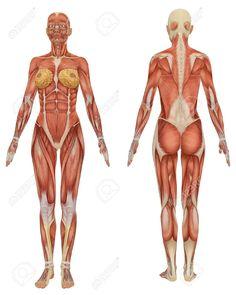 Vue Avant Et Arrière De L'anatomie Musculaire Féminine Très Pédagogique Banque D'Images, Photos, Illustrations Libre De Droits. Pic 6749755.