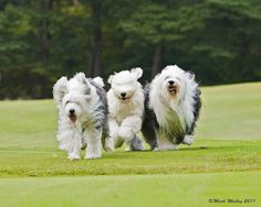 By Mark Molloy.Old English Sheepdogs, just big teddy bears