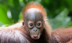 Newborn Bornean orangutan named Verra. Primates, Bornean Orangutan, Baby Orangutan, List Of Animals, Animals And Pets, Zoo Animals, Cute Baby Animals, Funny Animals, Types Of Monkeys