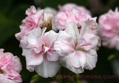 """Princess Abigail"" Pelargonium"