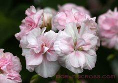 """""""Princess Abigail"""" Pelargonium"""