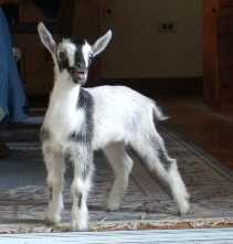Fairlea Farm goats for sale
