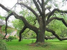 Ancient Oak Tree!