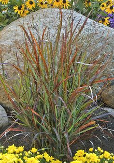 One of my fav's, great in floral arrangements  'Cheyenne Sky' Red Switch Grass   Panicum virgatum