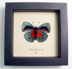 Butterfly: Callithea optima Verso blood red patch   Real Butterfly Gifts Framed Butterflies and Insect Displays