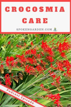 Learn quick, easy crocosmia plant care in this DIY Garden Minute podcast. #crocosmia #crocosmialucifer #crocosmiacare #crocosmiabulbs #spokengarden