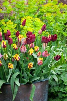 burgundy, pink and gold. Dutch Still Life Tulip Collection at Sarah Raven