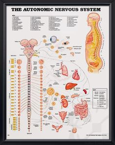 Autonomic Nervous System anatomy poster illustrates the autonomic nervous system or visceral nervous system connected to key organs. Neurology for doctors and nurses.