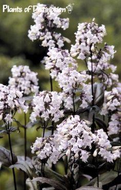 "Fingerborgshatt 'Mystica', Penstemon digitalis.30"" tall,dark burgundy leaves.Hummingbirds and bees love it.Way!way! better grower in zone 4 than 'Husker Red'."