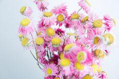 Rodanthe rosa - Trockenblumen - la fleur douce Online kaufen Flowers, Plants, Pink, Pink Blossom, Nice Asses, Flora, Royal Icing Flowers, Pink Hair, Floral