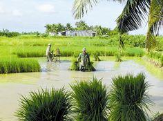 Cosecha de arroz en Ca Mau - Vietnam