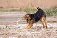 Airedale Terrier, spielend