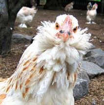 The Faverolles is a large and cloddy breed. They are unusual types of chickens, sporting beard, muffs, feathered feet, and five toes per foot.