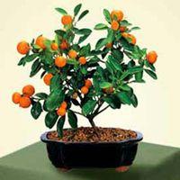 Calamondin Orange Bonsai-- good site for bonsai possibilities