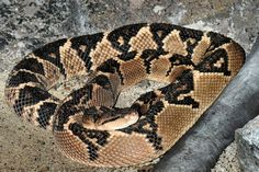 South American bushmaster South American bushmaster snakes are the longest venomous snake in the Western Hemisphere, as are they the longest pit viper in the world. Samar, Amphibians, Mammals, Kobra, Long Snake, Pit Viper, Snake Venom, Beautiful Snakes, King Cobra