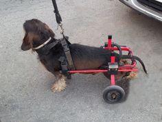 Disabled dog walker.