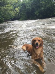 This adventurous fellow who loves his creek more than anything on Earth 19 Delightful Dog Pictures For Anyone Who Is Stressed Out Golden Retriever Mix, Retriever Puppy, Golden Retrievers, Cute Puppies, Cute Dogs, Dogs And Puppies, Doggies, Boxer Dogs, Animals And Pets