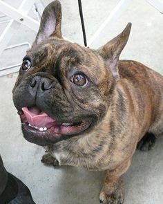 """Marlowe, from Hoboken, New Jersey: """"This is Marlowe, the French bulldog, at his first AKC dog show. He didn't win first place, but he is still all smiles!"""" Contributed by applepark."""