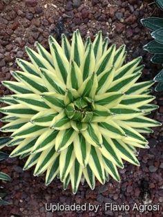 Agave victoriae-reginae cv. Unknown