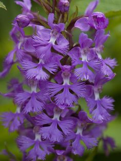 Little Purple Fringed Orchids is one of the largest varieties of plants in the world.