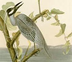 Audubon, ornithological illustration