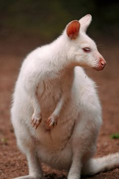 "Rare Albino Wallaby, which is housed together with ""normal"" ones. She has a white pelt and red eyes."