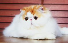 Persian Bi-color cat at Grooming Space Pet Hotel & Salon