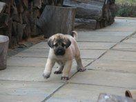 Anatolian Shepherd pup Anatolian Shepherd Puppies, Shepherd Dog, Big Dogs, I Love Dogs, Shih Tzus, Puppies For Sale, Fur Babies, Dog Breeds, Lion