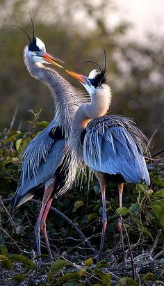 "Great Blue Herons in Courtship Display (Ardea Herodias) ~ 39-52"" (99-132 cm). W. 5'10"" (1.8 m). A common large, mainly grayish heron with a pale or yellowish bill. Often mistaken for a Sandhill Crane, but flies with its neck folded, not extended like that of a crane. In southern Florida an all-white form, ""Great White Heron,"" differs from Great Egret in being larger, with greenish-yellow rather than black legs. Voice: A harsh squawk."
