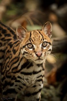 I See You [Explored]   This is an Ocelot, Leopardus Pardalis   by Claudio Mac